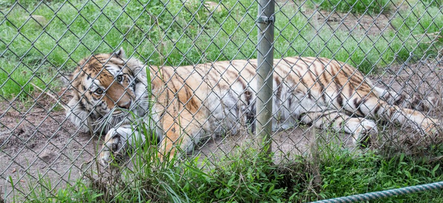 Trip to the Carolina Tiger Rescue