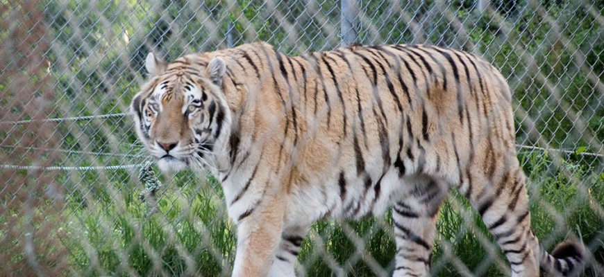 Trip to the Carolina Tiger Rescue
